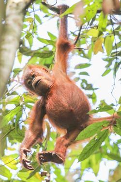 Orangutan baby in canopy of the rainfore