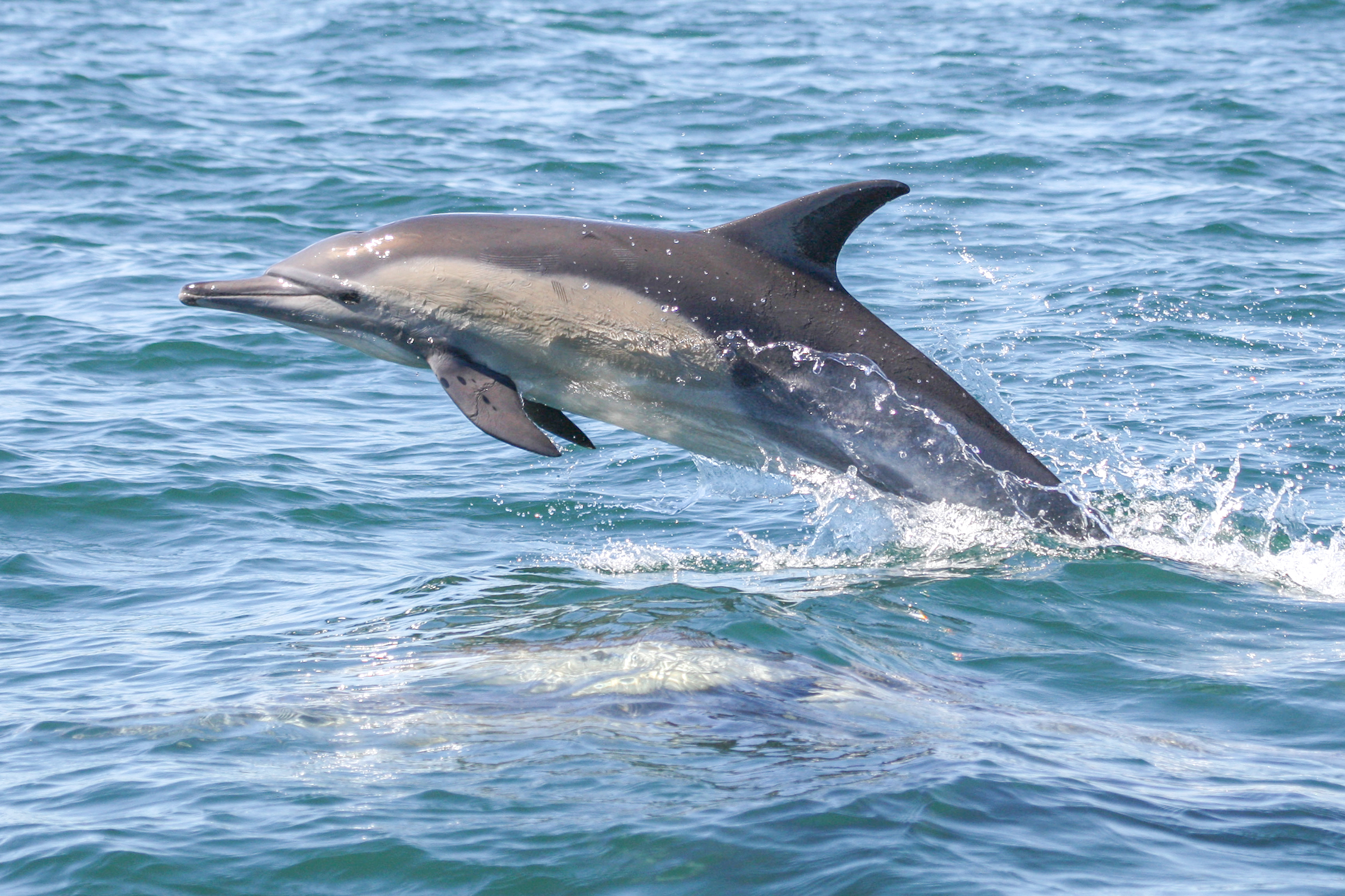 Long-beaked common dolphin (Delphinus de