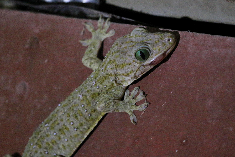 Tokay gecko (Photo by Stephen Chan)