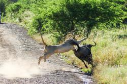 Lion hunting wildebeest - frame 4 (Photo by Derek Ho)