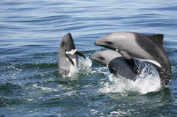 Benguela+Heavisides+dolphins_3