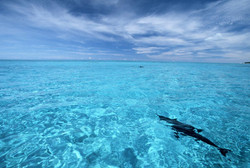 Spinner dolphins at Midway Atoll - Photo