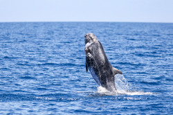 Risso's dolphin (Photo by Angelico Tiong