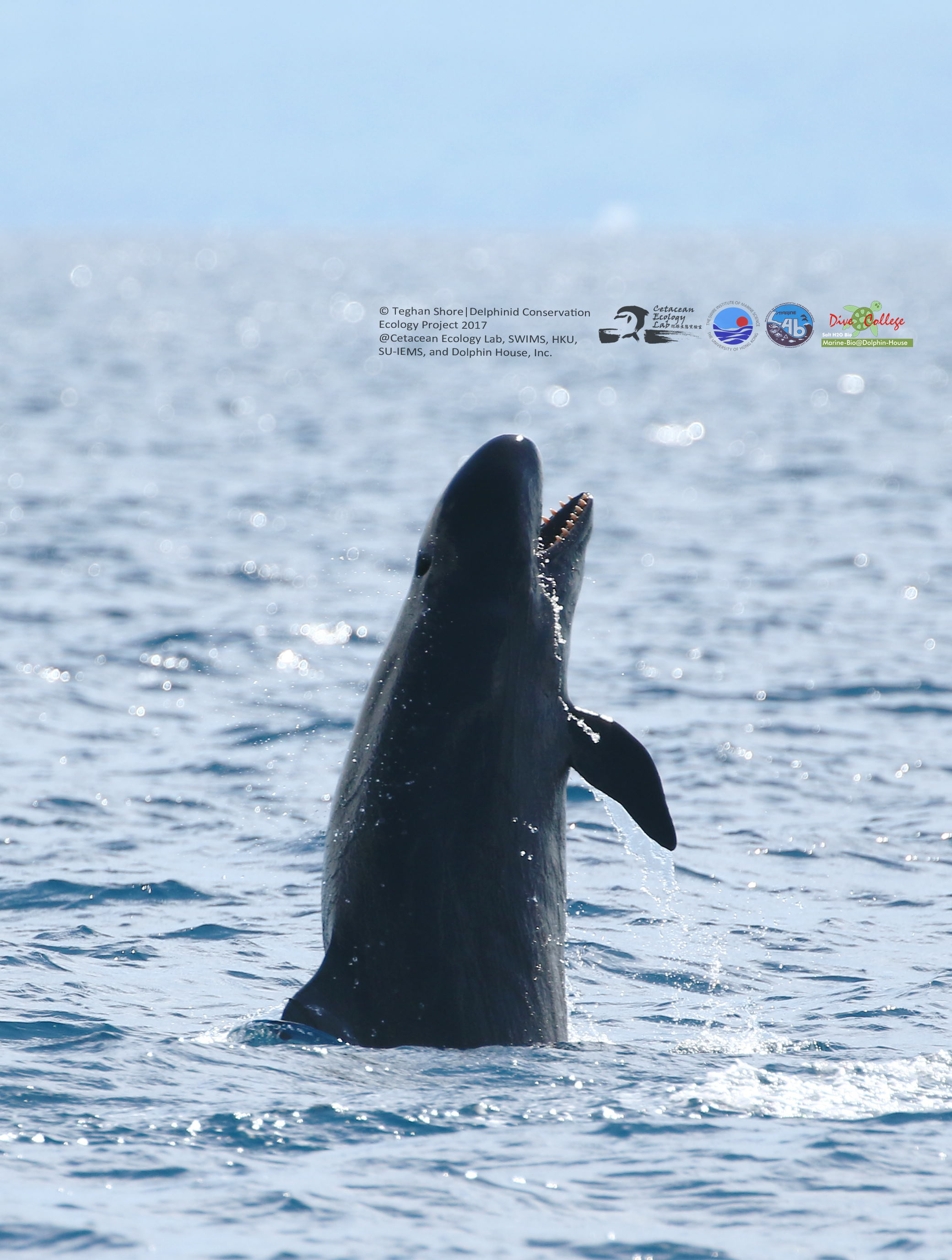 False killer whale in Tanon Strait (Phot