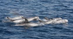 Risso's Dolphin 2013-8-15-18:33:0