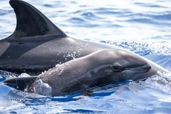 8R Melon-headed whale (Peponocephala ele
