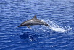 Red Sea spinner dolphin - photo by Watte