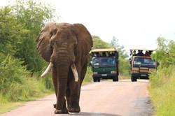 African elephant bull 'Amarula' in Pilanesberg National Park (Photo by Stephen Chan)