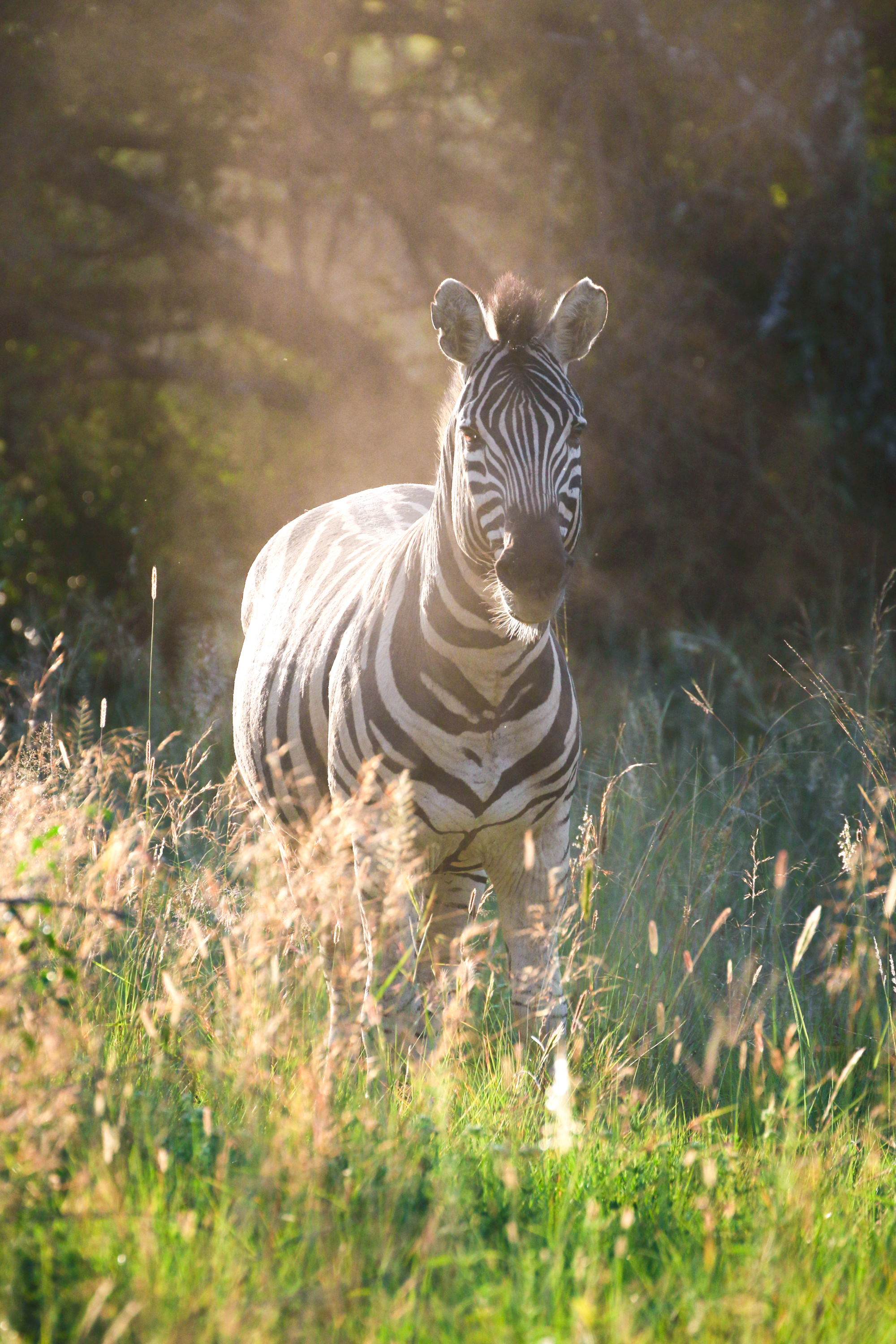Zebra (Photo by Stephen Chan)