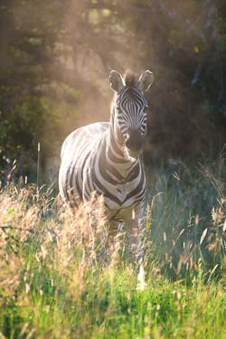 Zebra (Photo by Stephen Chan)