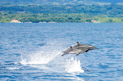 Spinner dolphin mom and calf leaping (Ph