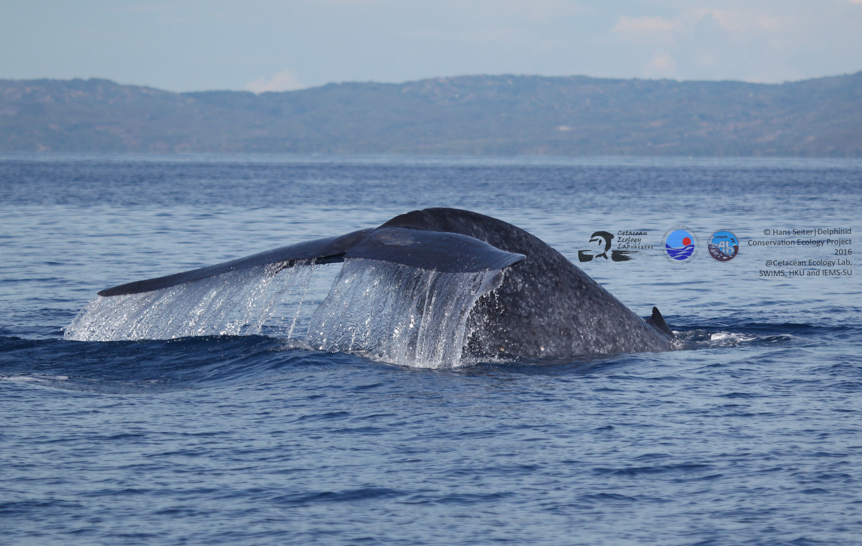 Blue whale outside Dumaguete (Photo by Hans Seiter)