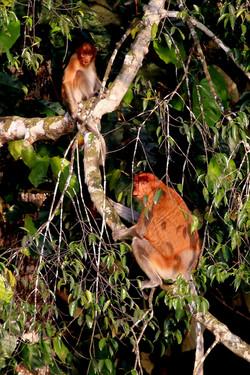Snub-nosed monkey (Photo by Scott Chui)
