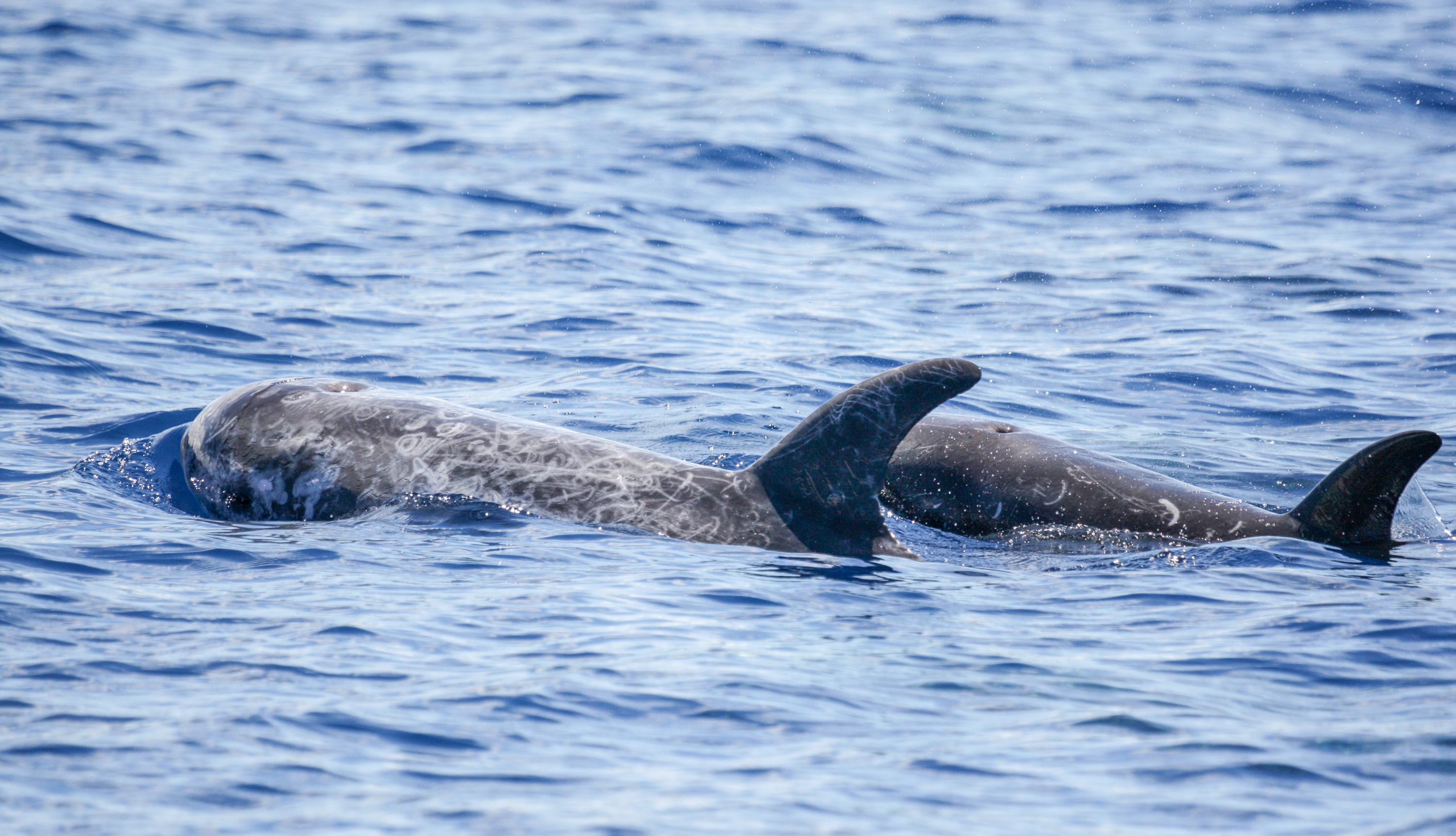 Risso's dolphin mom and juvenile (Photo