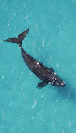 Southern Right Whale 2013-7-22-20:27:34