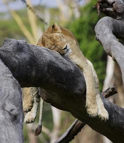 Lioness in Ngorongoro 2013-8-15-17:21:59