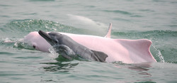 Chinese white dolphin - mother and calf-