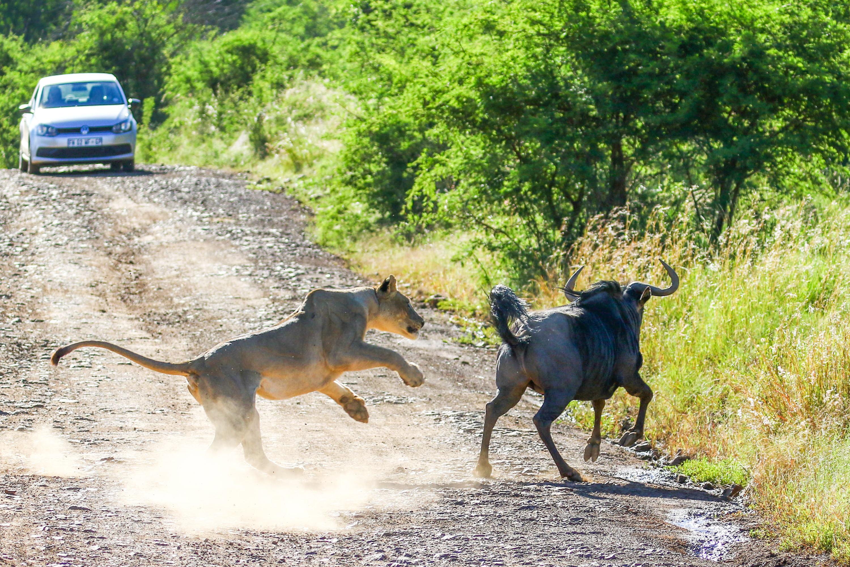 Lion hunting wildebeest - frame 3 (Photo by Derek Ho)