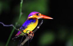 Oriental dwarf kingfisher (Photo by Carmen Or)
