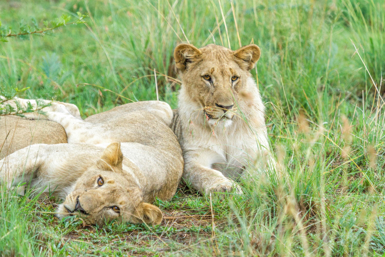 Lions at Pilanesberg National Park
