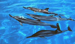 Spinner+dolphins+at+Midway+Atoll