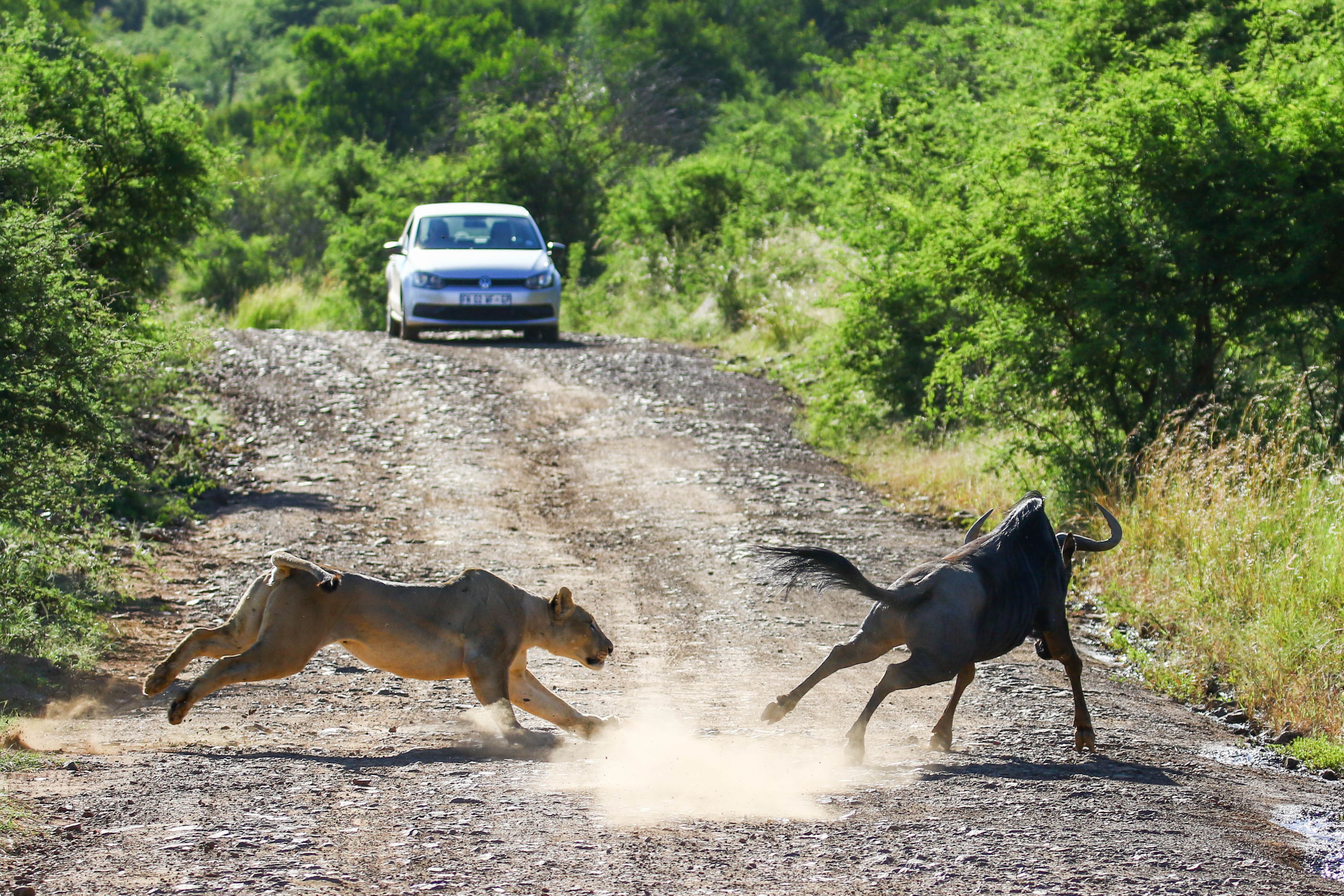 Lion hunting wildebeest - frame 1 (Photo by Derek Ho)