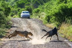 Lion hunting wildebeest - frame 1 (Photo by Derek Ho)