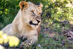 Lion chilling (Photo by Derek Ho)