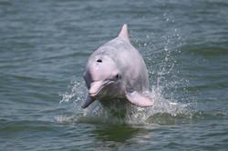 Chinese white dolphin - porpoising_2