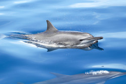 Spinner dolphin in Tanon Strait (Stenell