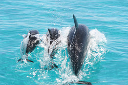 Spinner+dolphin+-+female+with+two+calves