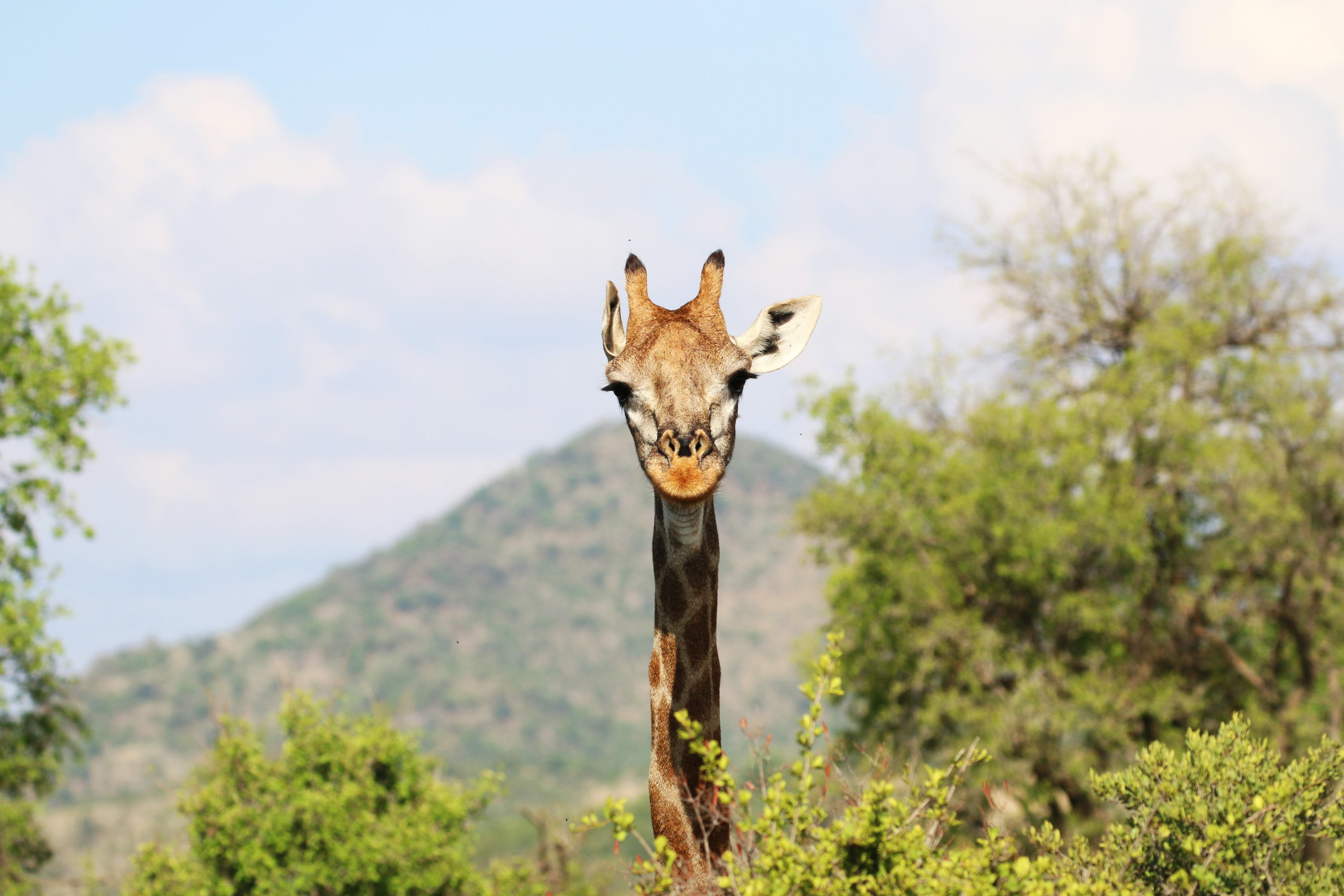 Giraffe (Photo by Stephen Chan)