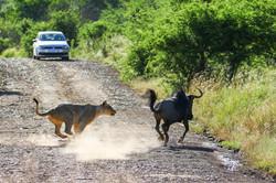 Lion hunting wildebeest - frame 2 (Photo by Derek Ho)
