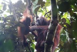 Orangutan (Photo by Carmen Or)