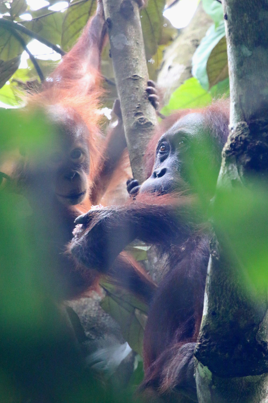 Orangutan (Photo by Leszek Karczmarski)
