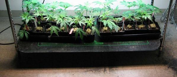 Growing-clones-on-a-heat-mat-696x305.jpg