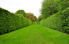 converging hedges in a park.jpg
