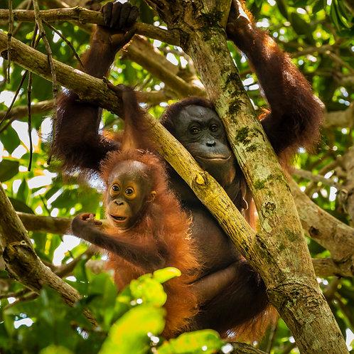 Replace 1 square kilometre of Orangutan home