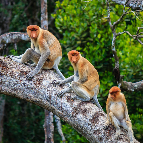 Plant 25 trees for monkeys, elephants and bears in Borneo