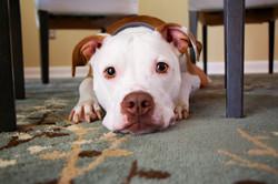 chair-puppy-dog-animal-mammal-bulldog-34