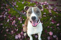 dog-pet-mammal-bulldog-leash-vertebrate-