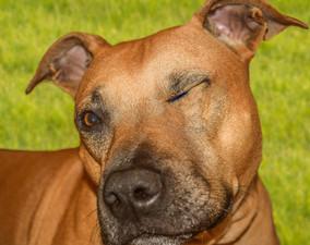 dog-mammal-vertebrate-dog-breed-terrier-