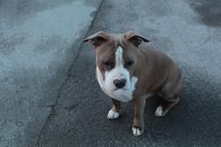 dog-animal-pet-mammal-bulldog-dogs-11359
