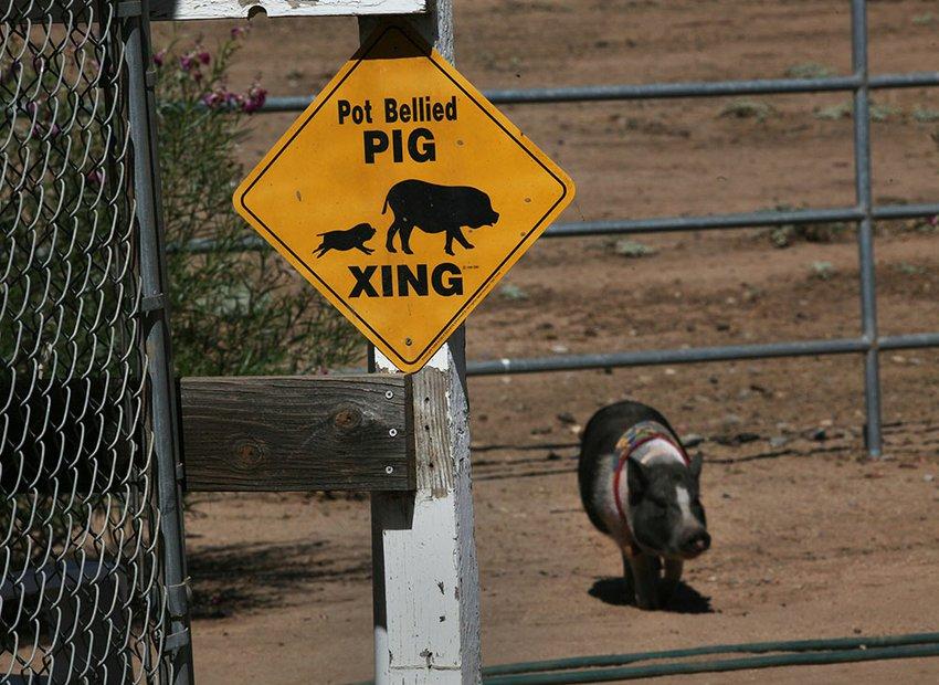 Pig Crossing