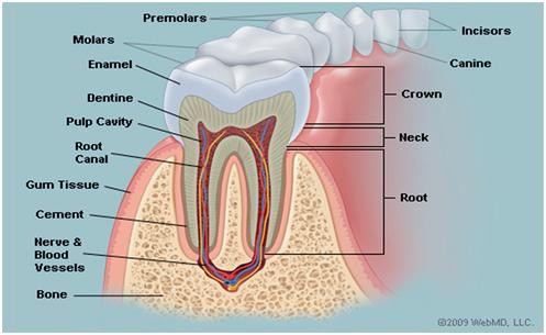 Tooth Anatomy, Teeth, Crown, Root Canal, Molars