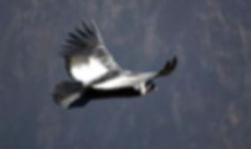 condor-crop-u461100.jpg