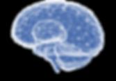 Hjärnan 2.png