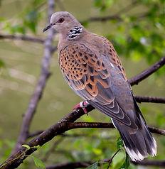 turtle-dove-2042334_1920.jpg