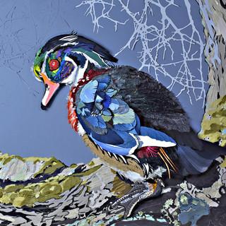 Wary Wood Duck