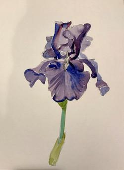 Blue Iris $400
